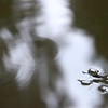 VIDEO: JAPANESE WATER STRIDER