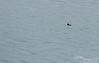 I saw what I thought was driftwood we were approaching.  But as we got closer and I saw two feet sticking out of the water, I knew it was a sea otter floating on her back.