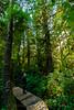 BOARD WALK THROUGH LUSH, VERDANT FOREST