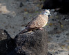 Zebra dove (Geopelia striata) at Kahaluu Beach Park.
