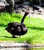 Courtyard goose.