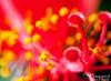 Hibiscus pistil.