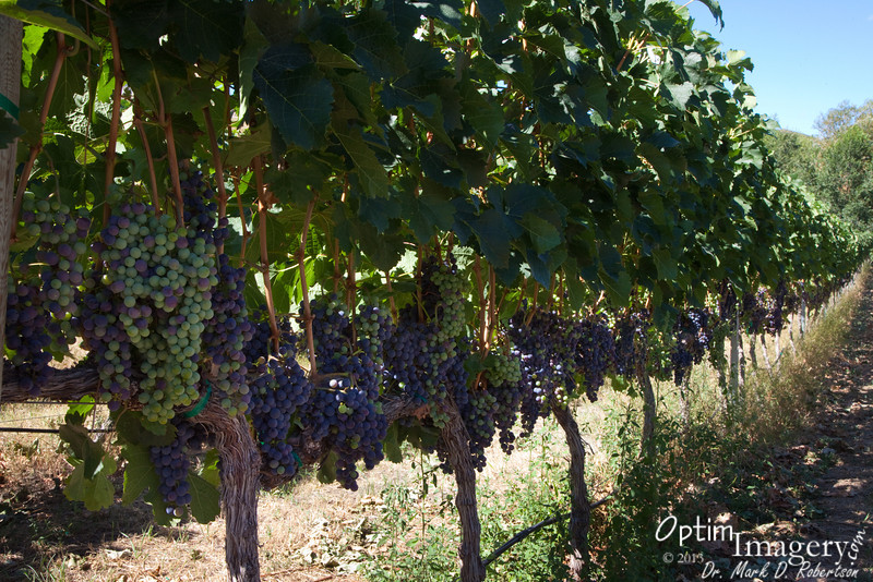 Grapes galore, at Chelan Estate Winery & Vineyards.