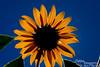 Sunlight shining through sunflower.