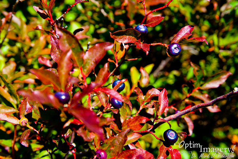 More mountain huckleberries.  I can almost taste them now!