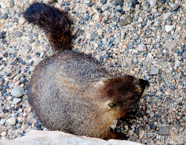 Marmots are actually considered to be large ground squirrels (I didn't know that until just now).