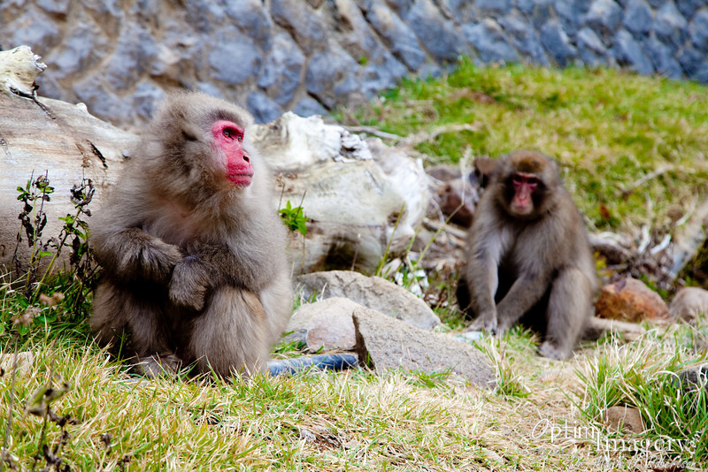 These were among the FIRST macaques we saw, just across the trail from the ryokan in the last photo.  I had thought we would be extremely lucky to see one or a few macaques, so with this we knew that expectations may be exceeded.  Little did we know by how much!