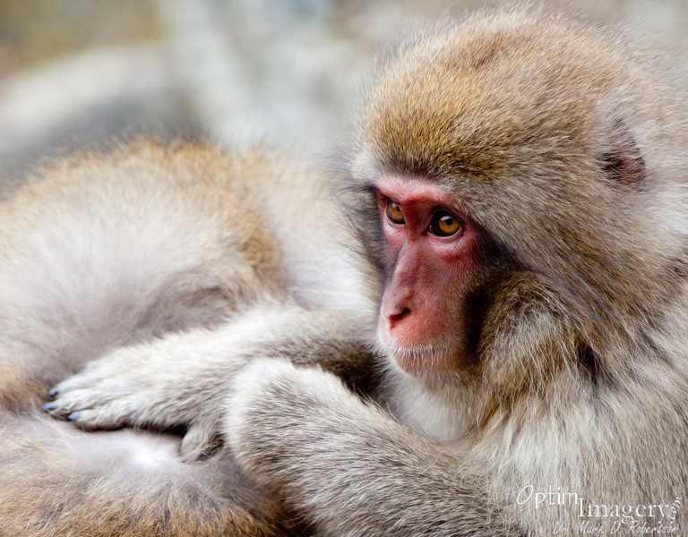 GROOMING MACAQUE