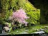 Sakura in a shrine, or cemetery.