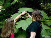 Bev and Bri investigate the seeds of a Devil's Club Plant.  Devil's Clubs grow primarily in old growth forests.  They are a bit of an indicator species, being one of the first to die out from development or other disturbances.  I have read that EVERY part of the Devil's Club, including the stems, the leaves, the roots, and the seeds have thorns.