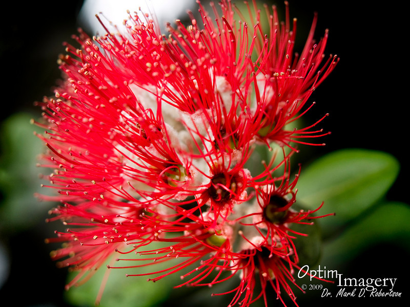 ʻōhiʻa lehua (Metrosideros polymorpha), the most common tree native to Hawaii.  Actually, the tree is referred to as ʻōhiʻa, the flower as Lehua.  ʻōhiʻa was a prince on whom Pele developed a huge crush.  He loved a commoner woman (Lehua).  When Pele demanded ʻōhiʻa's hand in marriage, he told her that he was in love with Lehua.  To this news, Pele became enraged, and she turned him into the tree.  Once Lehua learned about this, she was tremendously distraught.  The gods took pity on her.  Apparently unable to reverse Pele's spell, they instead chose to turn Lehua into the beautiful blossom, so that she and ʻōhiʻa would forever be together.  According to the myth, whenever one picks one of these flowers, the heavens rain with the tears of these two separated lovers.  Even today, local rangers say that, if one picks this flower, there will be at least a 70% chance that it will rain sometime during that day.  Of course, the same is true in this area if one respects these lovers' wishes, also.