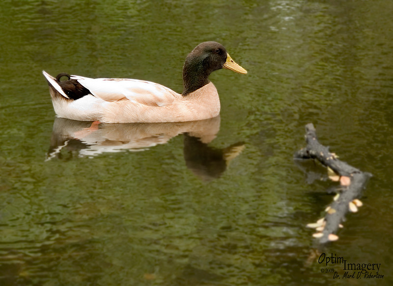 Ducks definitely seem to prefer the fresh water.
