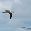 With wingspans of over 6 feet, the Laysan albatross is the second most common seabird in the Hawaiian Islands.