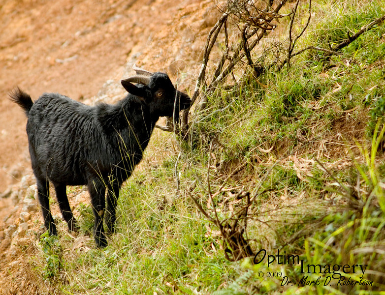 From what I saw, it looked like the feral goats were a pretty happy and successful group.  We also saw some feral pigs, but they did not stick around to allow photos.