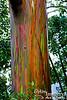 There was a very light drizzle for most of the day.  Not enough rain to get the waterfalls to flowing well (although they were the next day, at Hana and on our return trip), but enough to moisten the surface of the rainbow eucalyptus trees so that they really showed their colors.  I didn't know that such trees existed.
