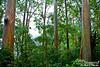A stand of Rainbow eucalyptus.
