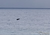 A breaching baby.  That holds a little different connotation with whales than with human babies.  Anyhow, this little calf looks like he is having lots of fun out there.