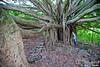 Impressive banyan tree along the Pipiwai Trail, on the way up to Waimoku Falls.