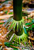 """Little adventitious root """"skirts"""" are near the base of nearly every stalk."""