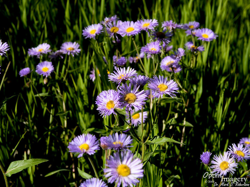 Mountain asters in the early morning sun.