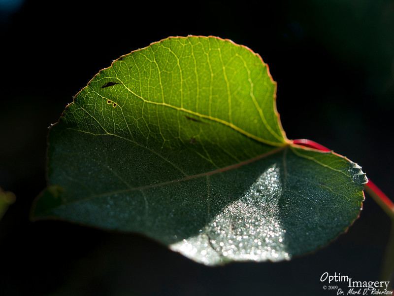Aspen leaf in the early morning sunlight.  Does this photo do kind of an odd optical illusion thing for you?  Seems to me like it almost turns inside out sometimes.