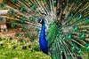 Ashram peacock.