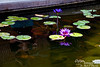 Bev's reflection among the water lilies at Queen's Marketplace.