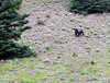A bear on the slope across the street from the cabin.  By the time I got my telephoto lens, he was gone, however.