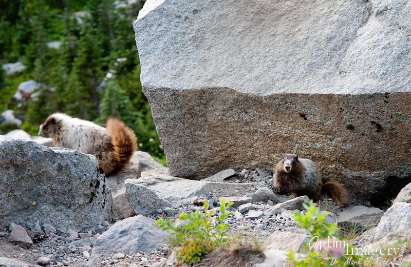 Mom and Juvenile marmot.