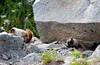 Mom and Juvenile marmot.