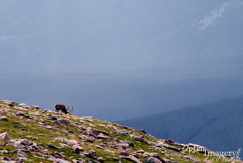 We saw several elk, but most were in places where they were way off in the distance or places where we could not stop the car.  This is the only one I got a photo of.