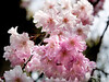"""The Japanese even have a word for """"viewing cherry blossoms:"""" They call it 'hanami.' The practice was probaby well-established by the early 700's and it seems to be laced with emotions of joy and wonder, along with a reverence from antiquity."""