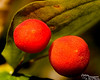 """I'm not sure what kind of """"berries"""" these are.  I'm pretty sure that they are not edible.  Zac, you had a suggestion for what they were, but I forgot.  What think you?  Anyone else?  (Please feel free to leave comments)"""