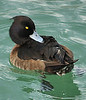Now THIS critter looked like a duck, swam like a duck, and quacked like a duck. Any idea what he might be? Actually, I would like to know what KIND of duck it is. Can you keep from falling in love with any critter who has penetrating, bright yellow eyes?