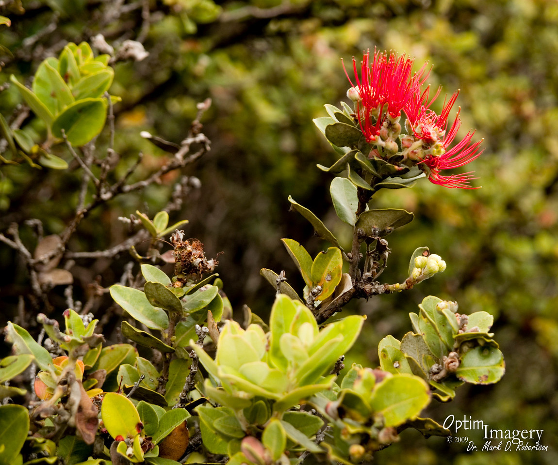 Bev and I decided we didn't have the time to hike down to the floor of the crater.  Probably from me taking too much time to take photos of the Lehua blooms.