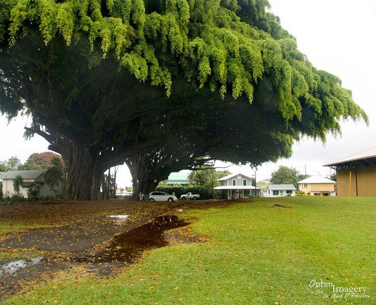 As we were driving back to the highway from Akaka Falls, we saw these huge banyan trees in the town of Honomu.  We stopped and inquired.  Some of the locals told us the story behind these trees (caption, next photo).