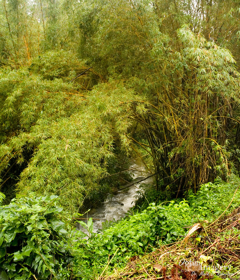Lots of rain as we approached Hilo.  Lots of beautiful stuff, but all pretty much shrouded in fog and rain.  We drove up to Akaka Falls State Park.  Here you see some pretty healthy bamboo along the Kolekole Stream in the park.