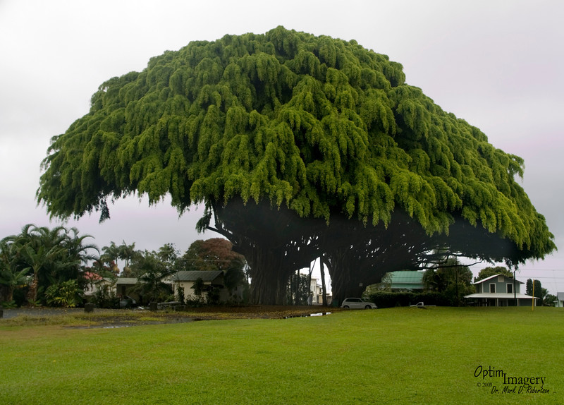 Just after WWII, a Hawaiian lady who lost a son in the war decided to plant a tree here in his memory.  A Japanese lady who had similarly lost a son decided to do the same.  Through the years since, as Japan and the U.S. have grown together and relied on each other as friends, so to have these trees grown strong and intermixed their branches and roots to give one great canopy.  Wow:  As I'm sitting at my computer writing about this tribute to war dead;, thinking about these two women loosing sons who they obviously loved dearly, I'm listening to Pandora.com (internet radio).  Peter, Paul, and Mary just came on singing BLOWING IN THE WIND.  How many times indeed.......