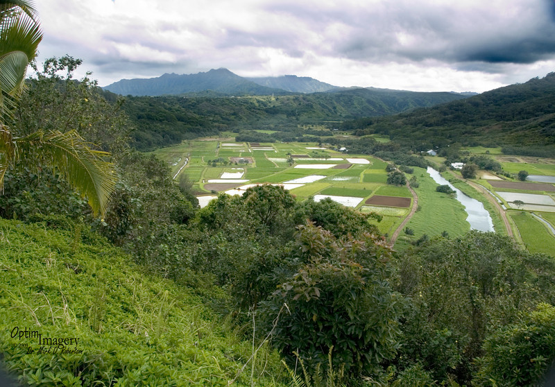 The Hanalei National Wildlife Refuge, straddling the Hanalei River, has taken an unusual approach (compared with most National Wildlife Refuges) to attempt to rectify the problem:  Instead of setting aside uncultivated area for wildlife, as in other refuges, land is specifically made available to farmers for growing taro, therefore re-introducing the wetlands which the birds have depended on for the past thousand years.