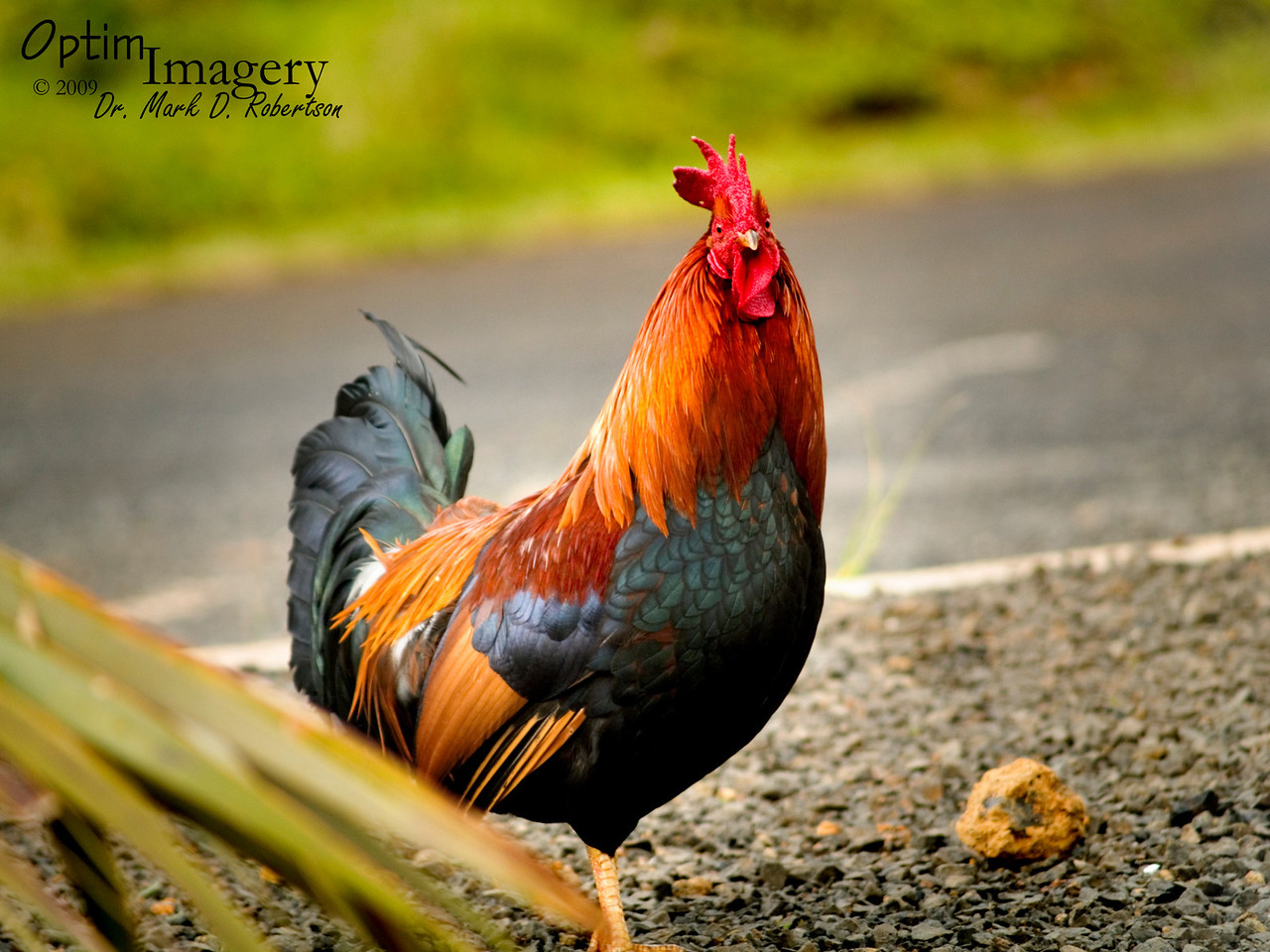 Chickens were EVERYWHERE on Kauai.  It's my understanding (which may or may not be correct), that they are a more recent introduction than are the goats and pigs, but are also feral nonetheless.