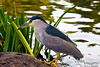 This kingfisher frequented the koi pond at the Wailea Marriott, where the seminar was.