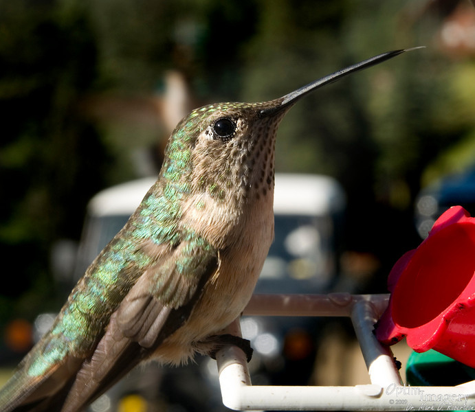 Hummingbird on a feeder hanging above Mom and Dad's cabin porch.  As you can see, he is sticking his tongue (or, as Steve may call it, his human nostril cleaner) out at me.