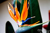 This is the bird of paradise which is more familiar to me.  Smaller plant.  Vibrant colors.