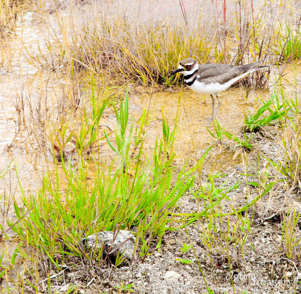 Little plover wading in the waters of the hot spring.