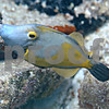 WHITE SPOTTED FILEFISH (ORANGE PHASE)