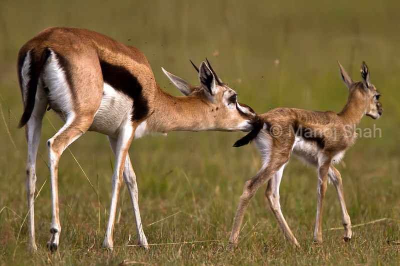 Thomson's gazelle and baby