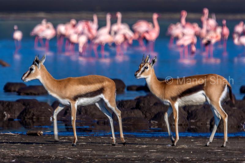 Thompson's gazelles walking alond the shores of flamingo filled  Lake Nakuru, Kenya.
