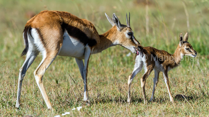 Thomson's Gazelle mother grooms her baby in the Masai Mara savannah.