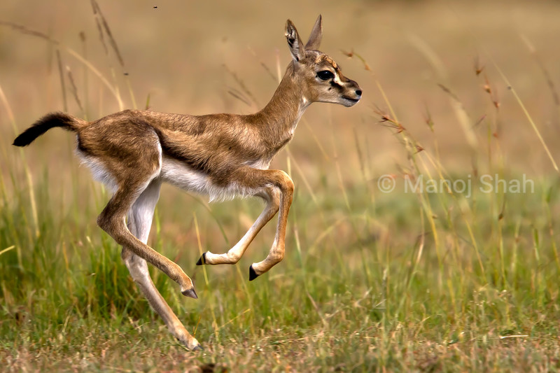 Impala fawn running