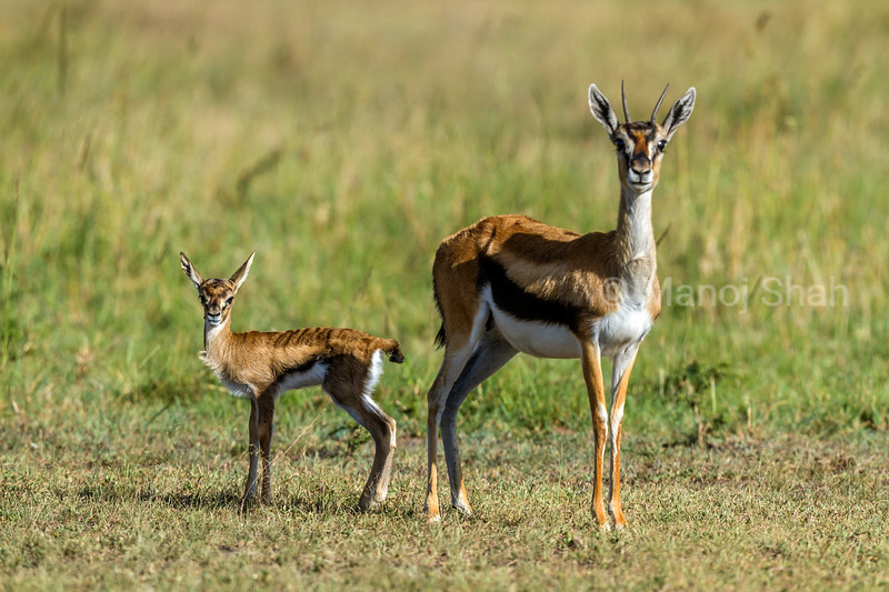 Thomson's Gazelle mother with her baby in Masai Mara savanna.